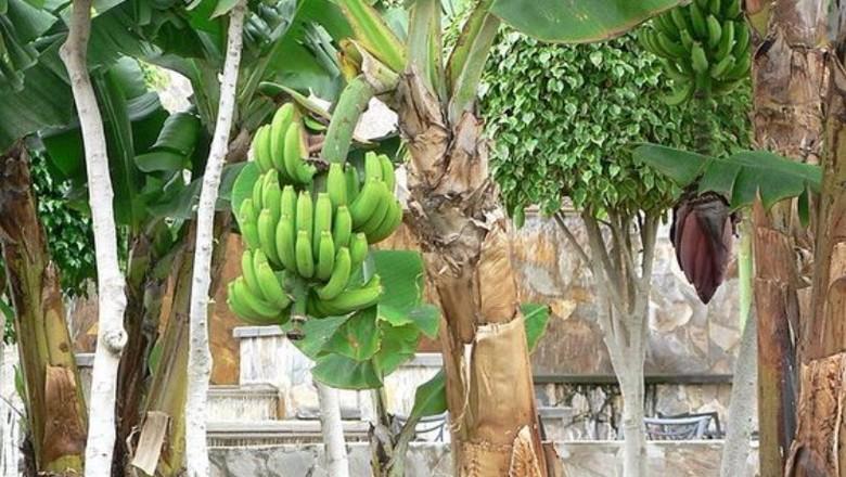 banana-bananeira-arvore (Foto: Pixnio/Creative Commons)