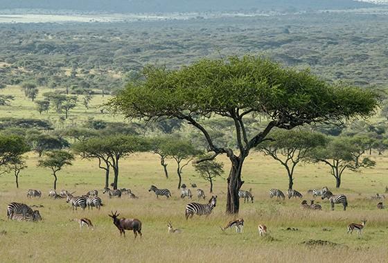 Quase metade das zebras-de-planície da África – da subespécie Equus quagga boehmi – vivem no Parque Nacional Serengeti, na Tanzânia (Foto: © Haroldo Castro/ÉPOCA)
