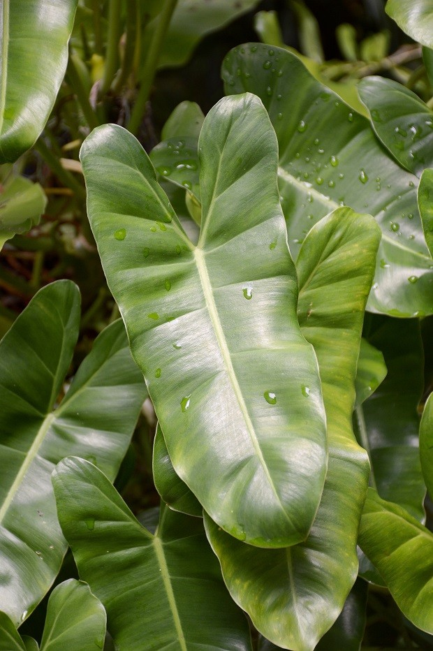 fresh green Philodendron leaves in nature garden (Foto: Getty Images/iStockphoto)
