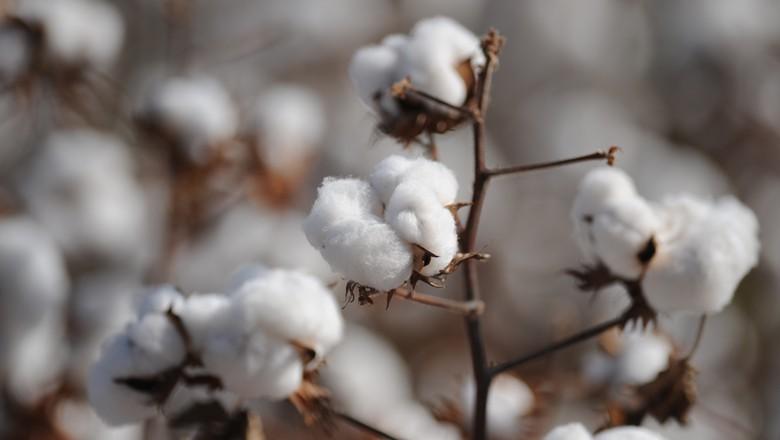algodão (Foto: Globo Rural)