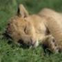 Papel de Parede: Sleepy Lion Cub