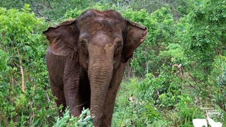 elefanta-ramba-santuario-elefantes (Foto: Santuário de Elefantes Brasil/Agência Brasil)