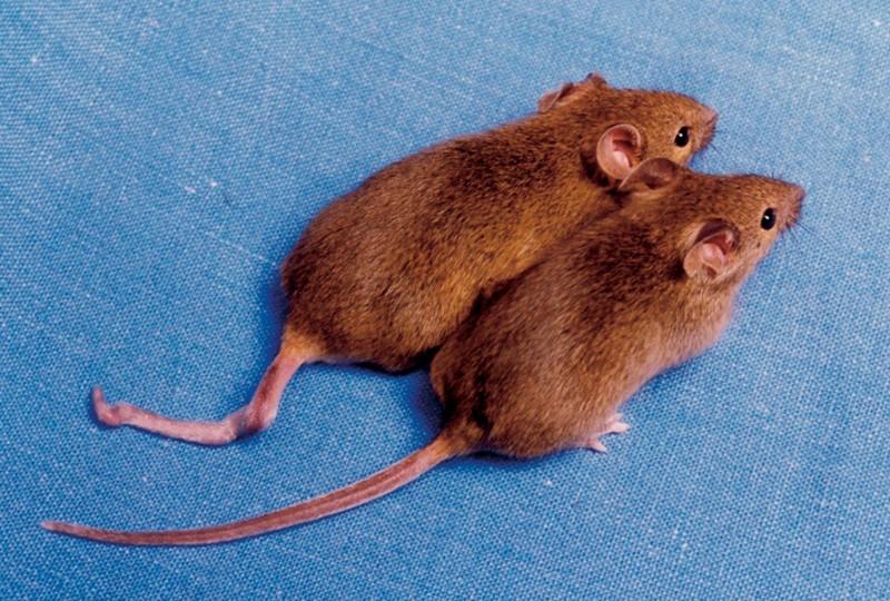 Edição de DNA de ratos pretende acabar com genes de doenças (Foto:  Emma Whitelaw, University of Sydney/Wikimedia Commons)