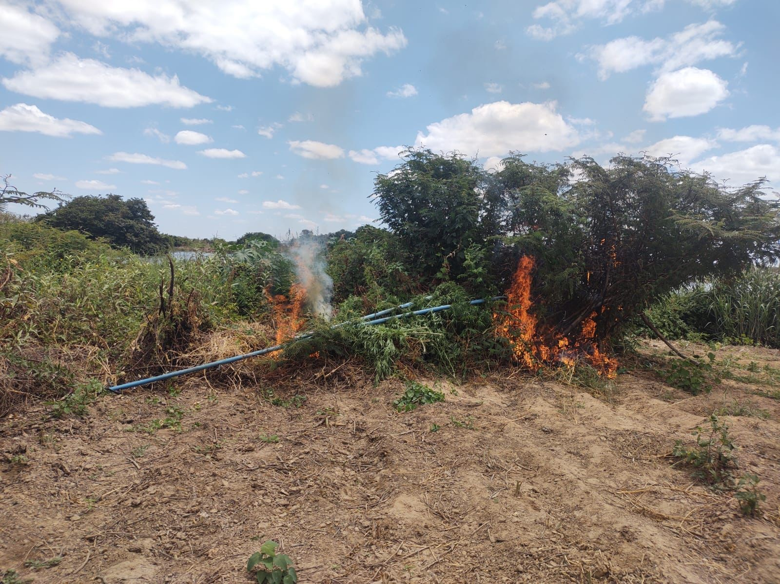 Mais de 10 mil pés de maconha são apreendidos e incinerados no norte da Bahia