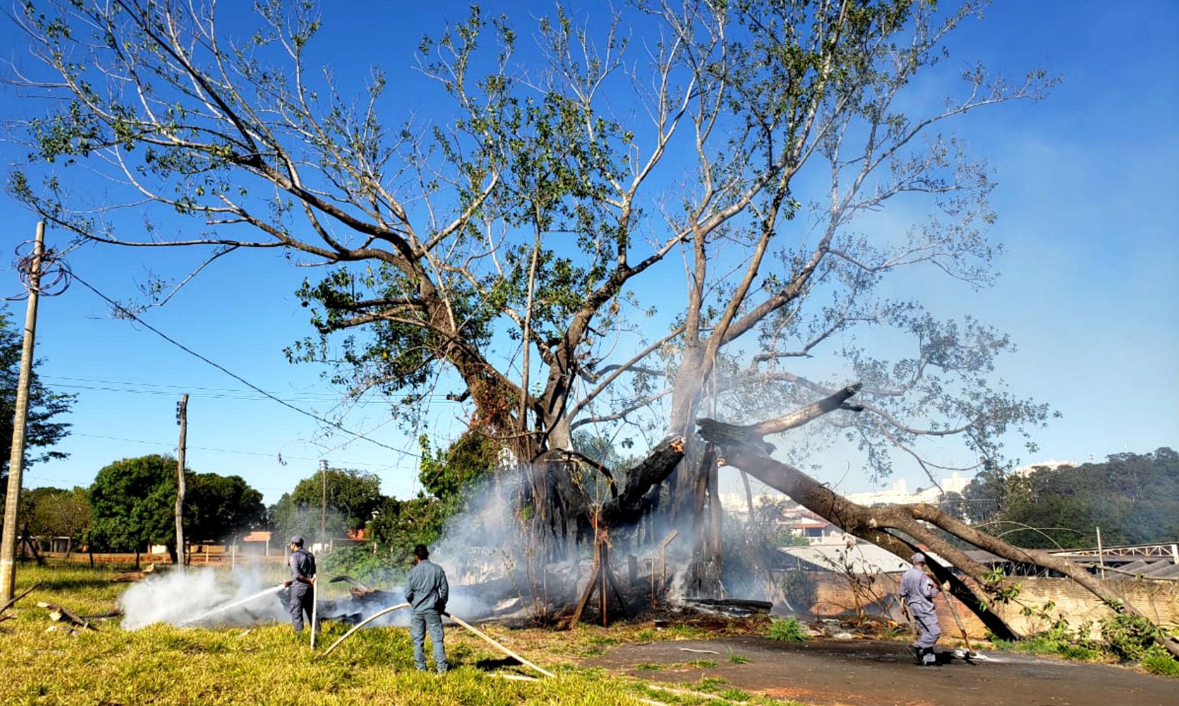 Após incêndio, seringueira com mais de 50 anos é cortada em Bauru - Notícias - Plantão Diário