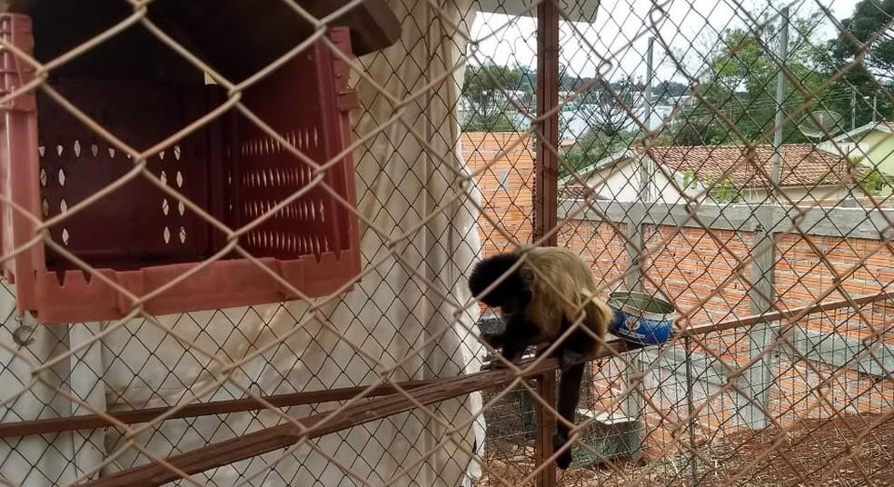 Macaco-prego também foi apreendido na casa após vistoria, segundo a PM (Foto: PM-PR/Divulgação)