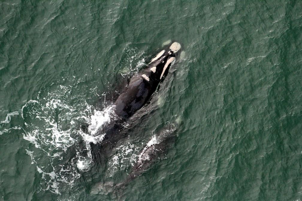 Temporada de baleias segue até novembro — Foto: SCPar Porto de Imbituba/Divulgação