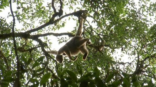 Saúde investiga suspeita de febre amarela em macacos achados mortos em São Miguel Arcanjo