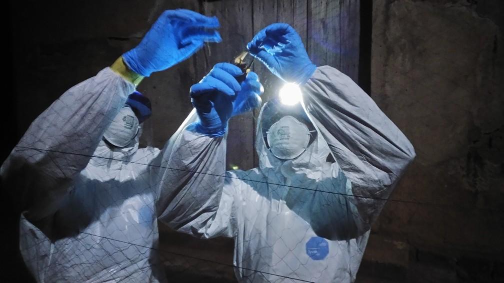 Equipe segura e coleta amostras nos morcegos em campo. Grupo está em Serra Leoa, Guiné e Libéria para pesquisas sobre os hospedeiros do vírus. (Foto: Jaber Belkhiria/UC Davis)