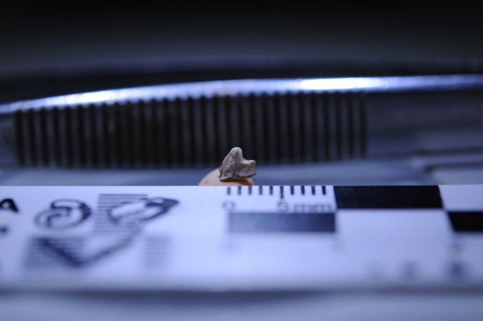 Fóssil do dentre de 3,5 mm do mamífero Brasilestes stardusti. (Foto: Divulgação / FAPESP)