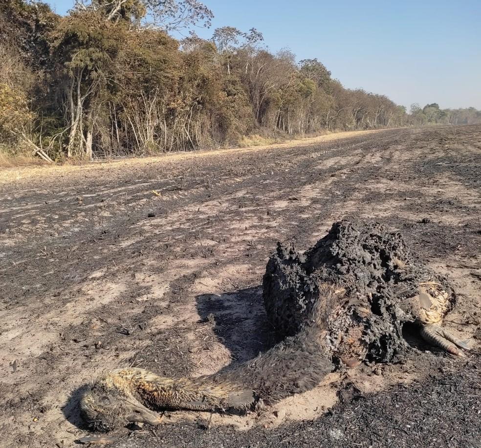 Animal foi atingido pelo fogo durante incêndio em comunidade — Foto: Major Alex Queiroz/Corpo de Bombeiros
