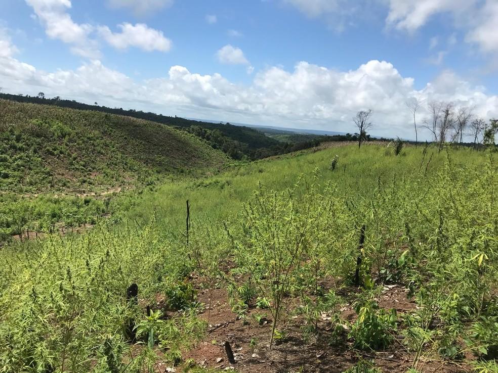 Policiais localizaram cerca de 3 mil pés de maconha no interior do Maranhão (Foto: Divulgação/Polícia Civil)