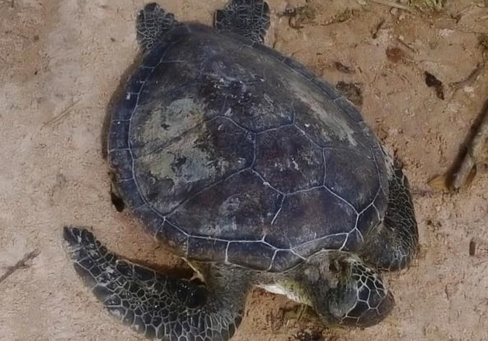 Outro animal foi encontrado na sexta, em praia de Itacaré — Foto: Projeto (a)mar/Arquivo pessoal