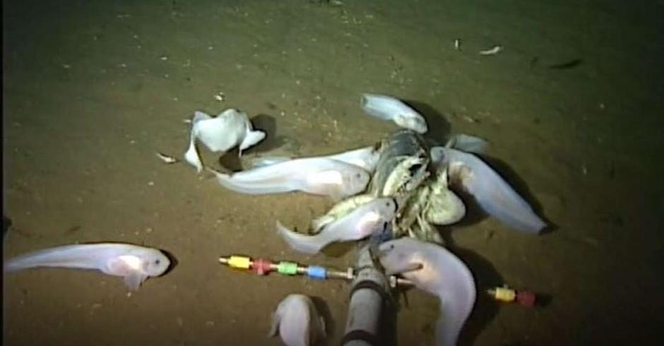 Peixe-caracol Mariana (Foto: Reprodução/YouTube)