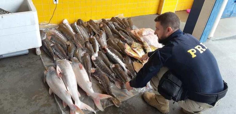 PRF apreendeu mais de 289 kg de pescado em Pontes e Lacerda — Foto: Polícia Rodoviária Federal de Mato Grosso/Assessoria