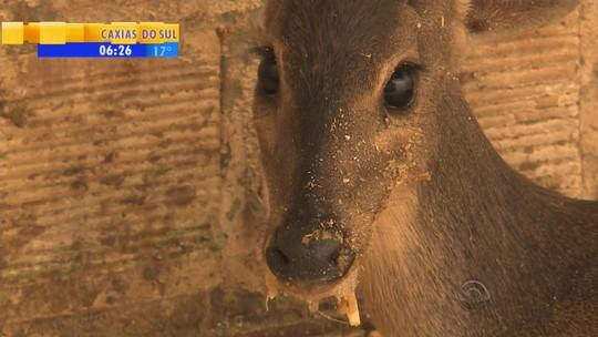Resgatada após atropelamento no RS, cervo fêmea está prenha