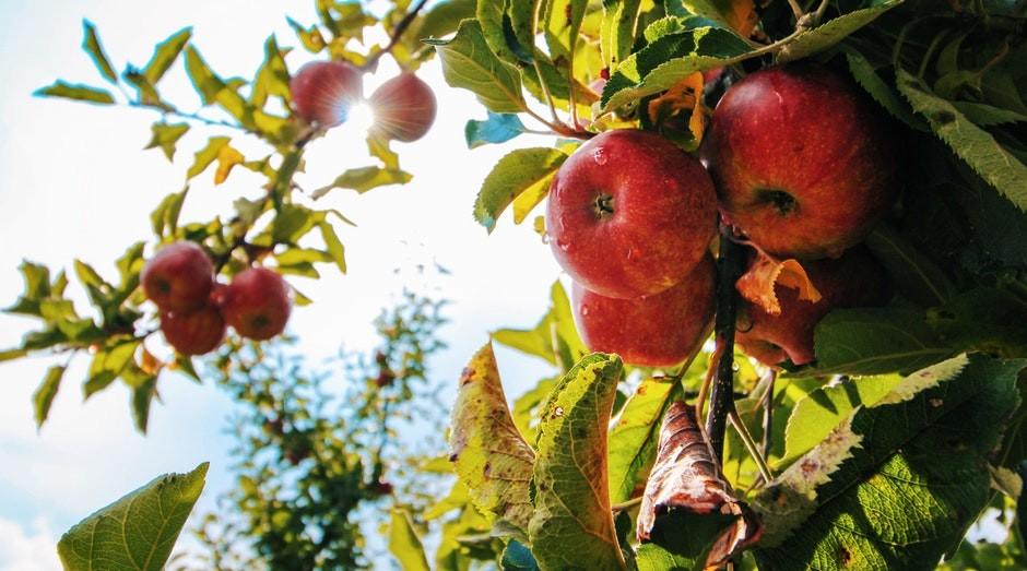 A Beeflow já ajudou a aumentar a produtividade de plantações de maçãs (Foto: Pexels)