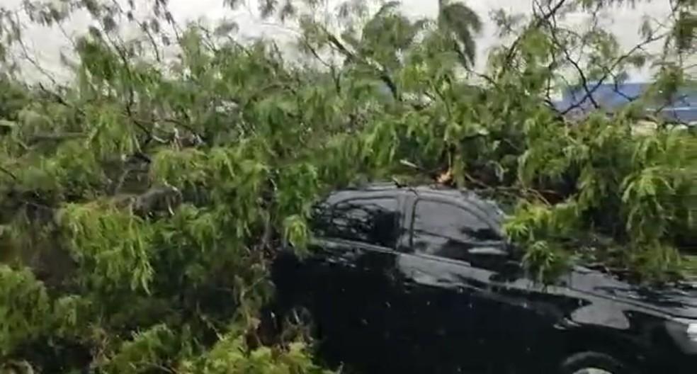 Mesma árvore caiu em carro e motorista feriu a perna com estilhaços de vidro — Foto: Vinicius Santana/Arquivo Pessoal