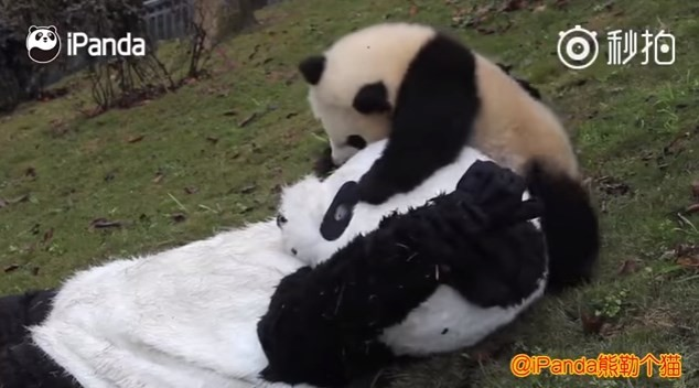 Panda brinca com cuidador fantasiado de panda