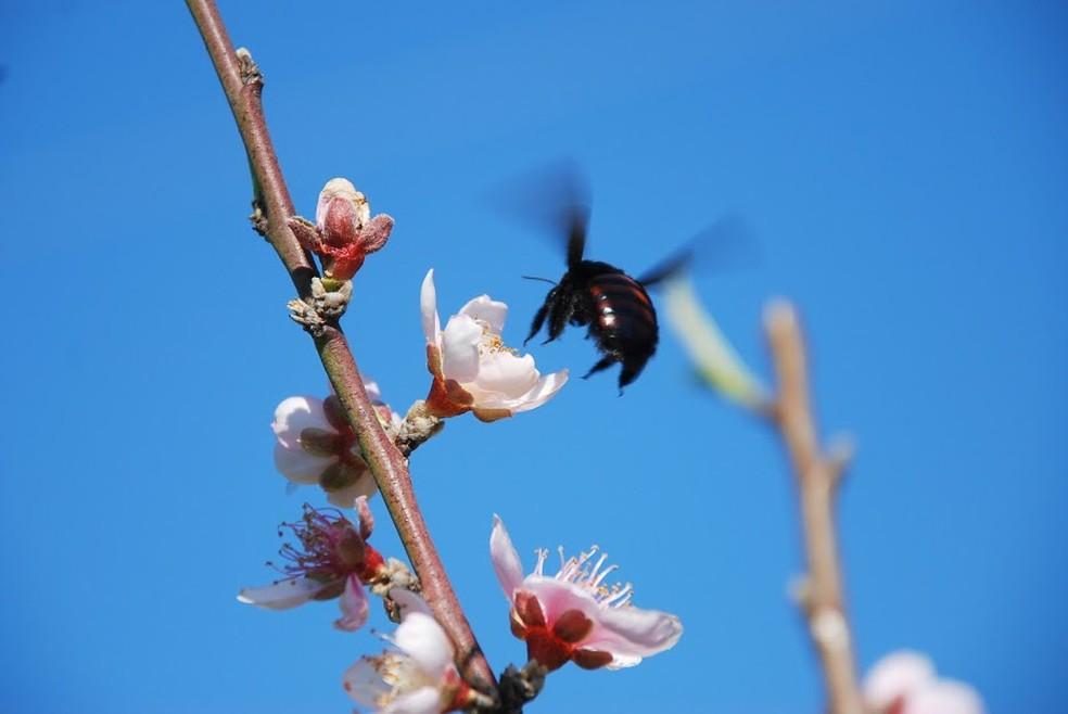 Mamangavas conseguem voar por longas distâncias, já que a capacidade do alcance do voo varia também com o tamanho dos insetos — Foto: Betina Blochtein/Acervo Pessoal