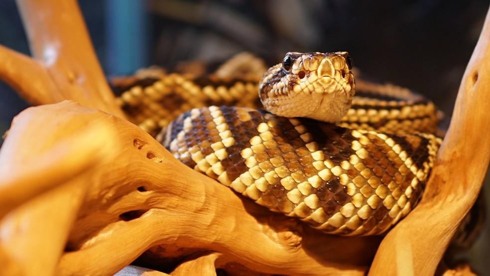 A serpente amazônica Crotalus durissus ruruima. — Foto: Reprodução