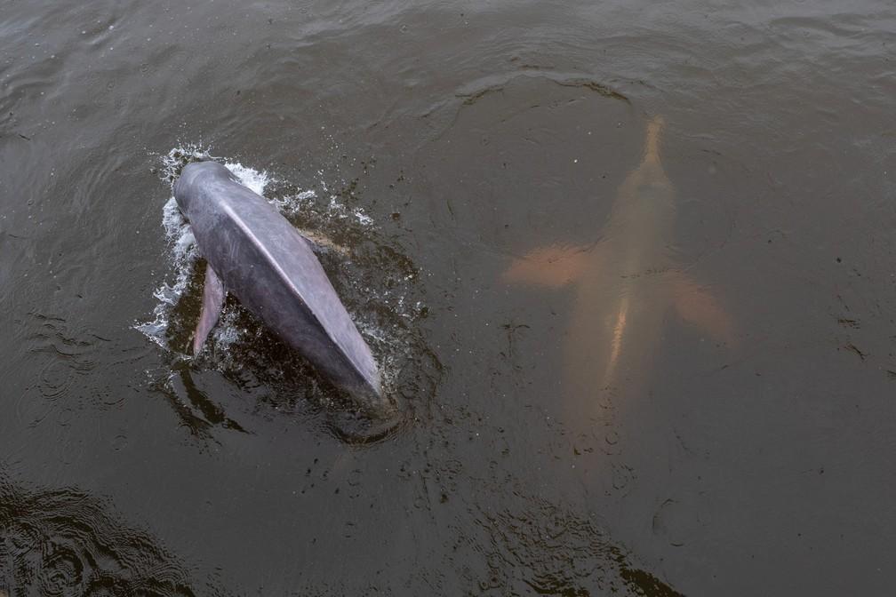 Dois botos são vistos do mercado de peixes de Santarém (PA). Os animais são uma atração turística do local e aparecem sempre para pegar peixes atirados por frequentadores  — Foto: Marcelo Brandt/G1