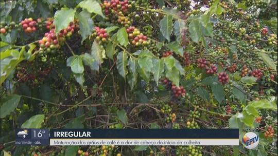 Maturação de grãos do café é dor de cabeça no início da colheita