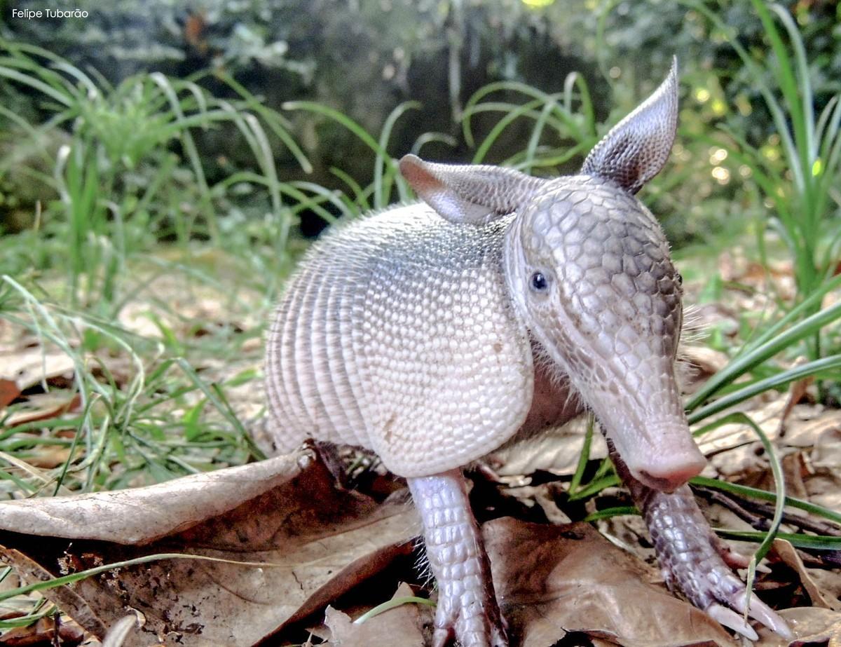 Tatu-mirim e outras espécies são registradas no Parque da Pedra Branca, no Rio