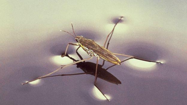 A tensão superficial é o que permite que alguns insetos possam caminhar sobre a água (Foto: SPL via BBC)