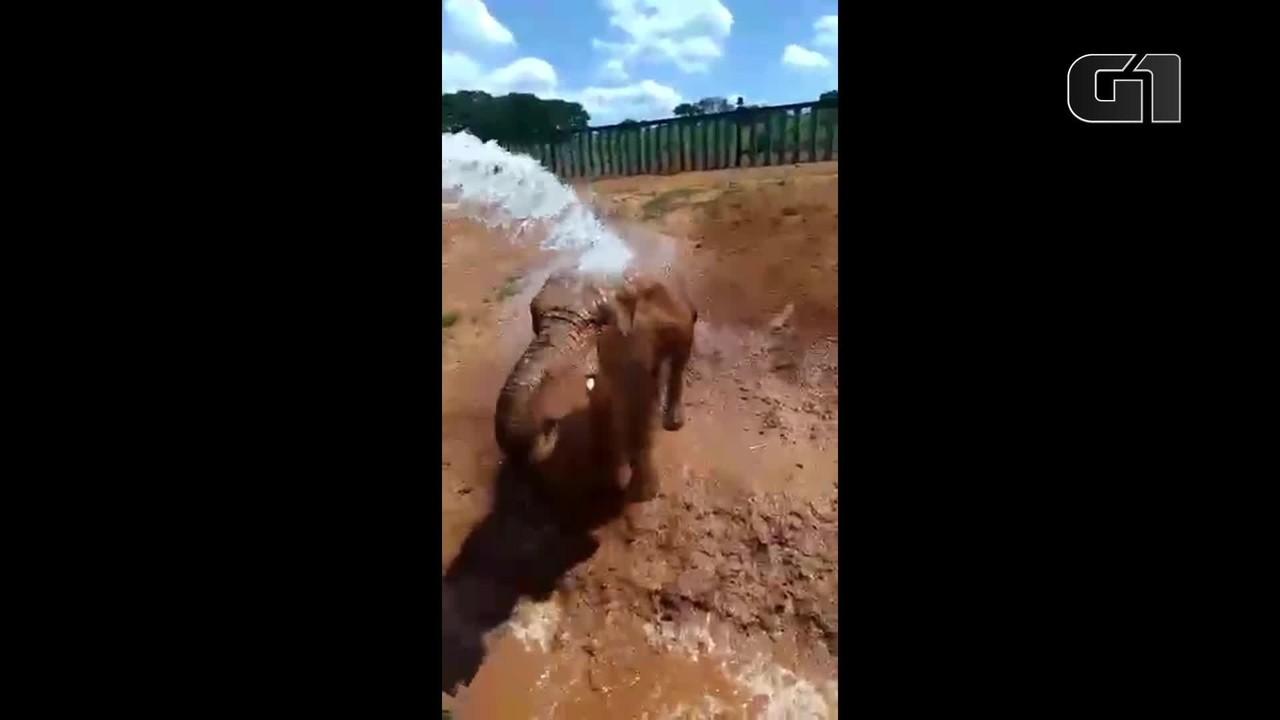 Elefante Bela se refresca no Zoológico de Brasília