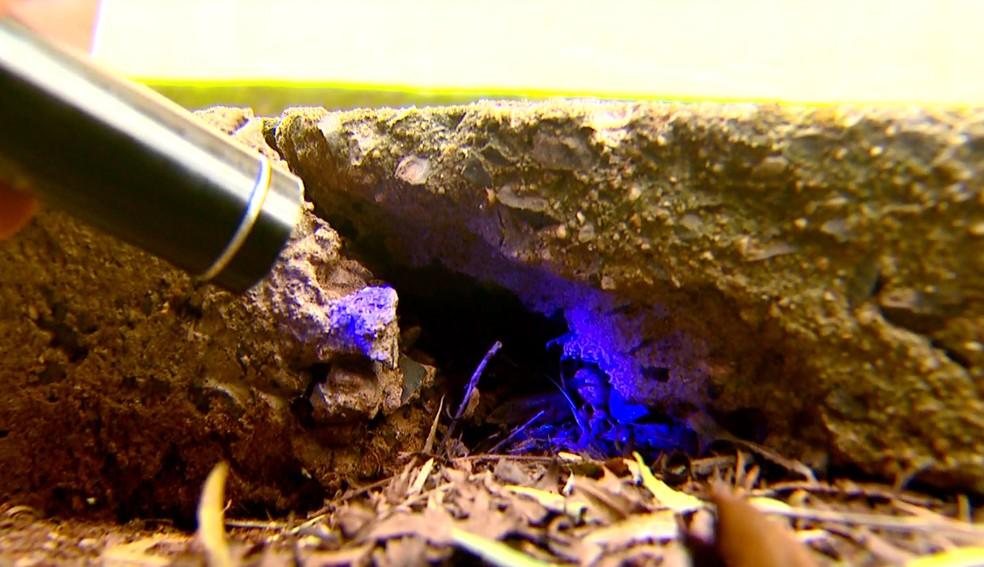 Motorista comprou lanterna especial para encontrar escorpiões no quintal — Foto: Wilson Aiello/EPTV