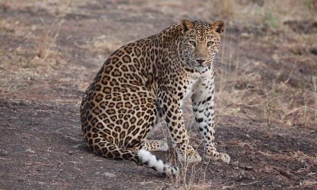 Segundo moradores, o leopardo era de um oficial do exército (Foto: Daniel Sprawson/ZSL/PA)