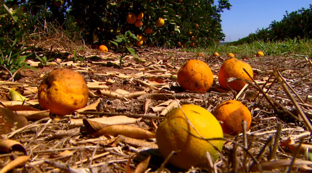 Região de Matão reduz o greening em pomares de laranja pelo quarto ano consecutivo