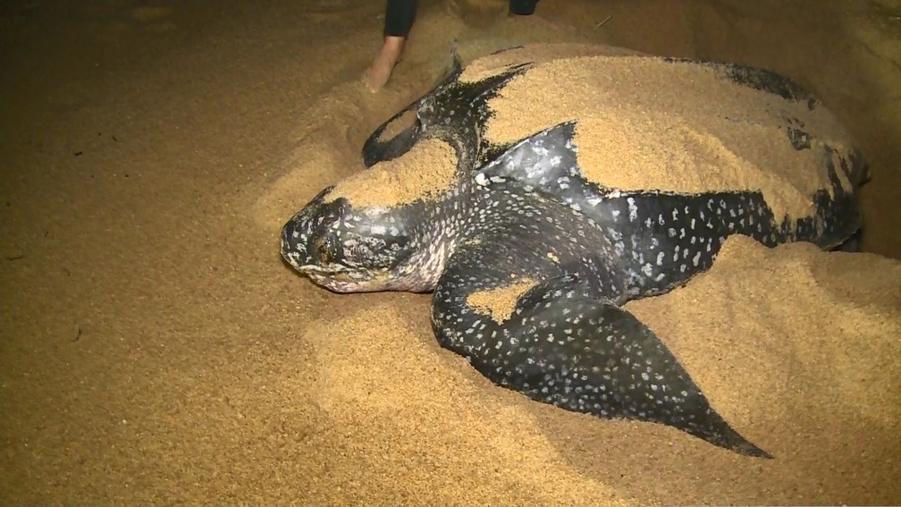 Desova de tartarugas em Regência no Espírito Santo — Foto: Ari Melo/ TV Gazeta
