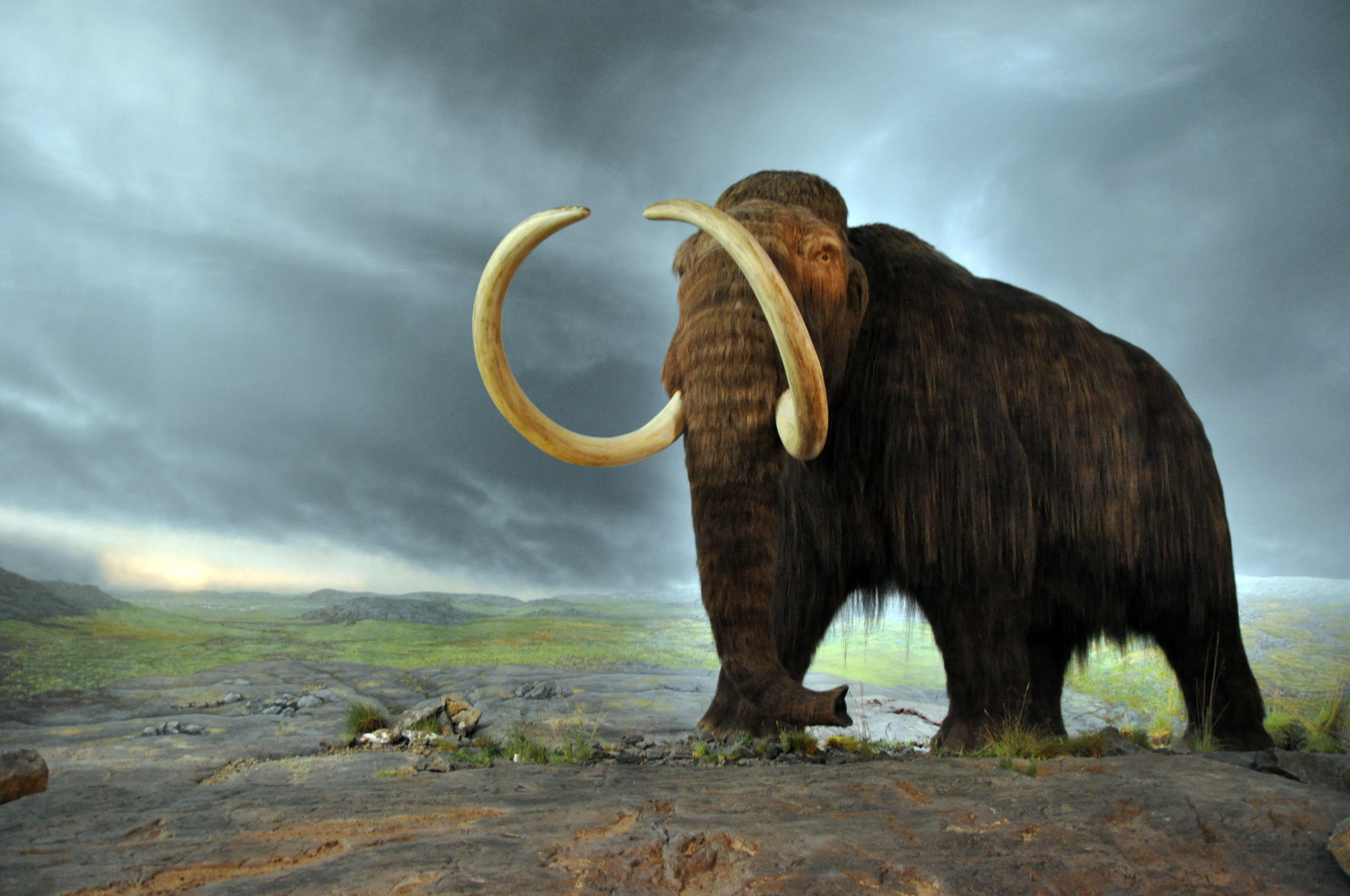 Mamute-Lanoso que conviveu com seres humanos no norte do planeta há 13 mil anos.  (Foto:  Royal BC Museum)