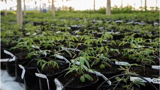 O Uruguai legalizou a maconha para uso recreativo em 2013 (Foto: IRCCA via BBC)