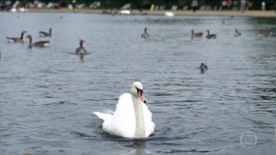 Cisnes têm status de realeza no Reino Unido