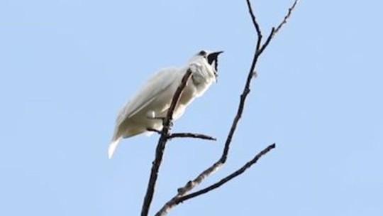 Ouça o canto da ave brasileira que é tão barulhenta quanto um avião