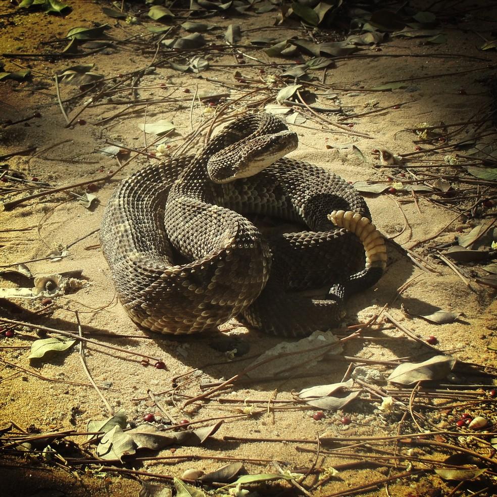 Cascavel está no segundo lugar da lista de serpentes mais perigosas em termos de acidentes — Foto: Willianilson Pessoa/Arquivo