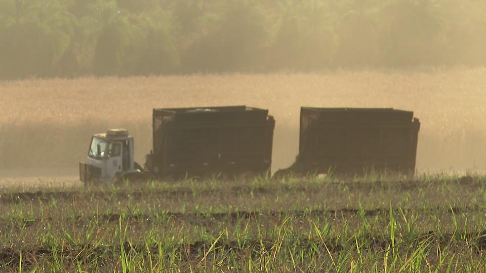 Danos na gema apical da cana-de-açúcar afetam o crescimento da planta — Foto: Reprodução/EPTV