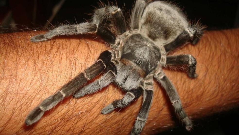 Analgésico feito a partir de substância extraída de aranha é desenvolvido no Brasil — Foto: Vini Christ/BBC