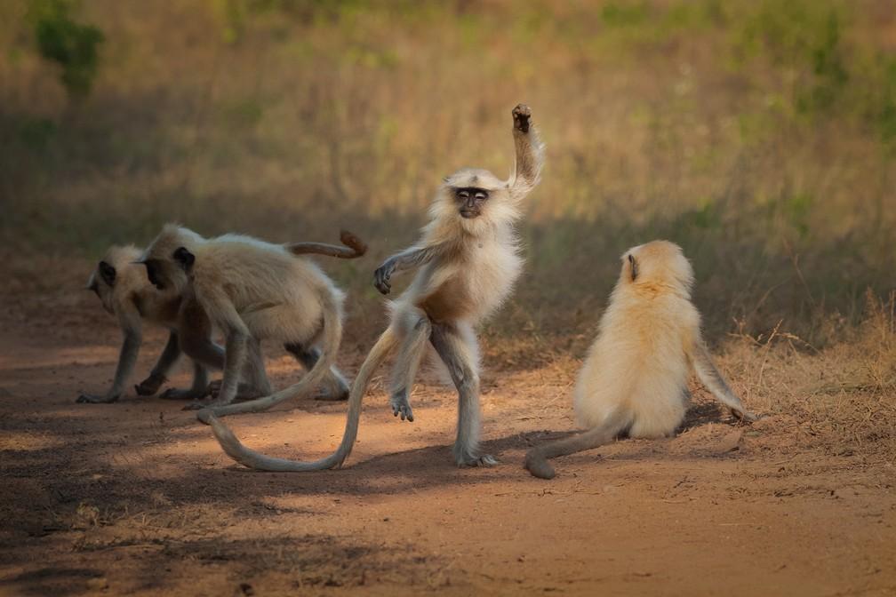 'Dançando para a glória': na foto, o langur move o corpo e dá a impressão de que está dançando na reserva de tigres Tadoba Andhari, na Índia. — Foto: © Sarosh Lodhi/Comedywildlifephoto.com