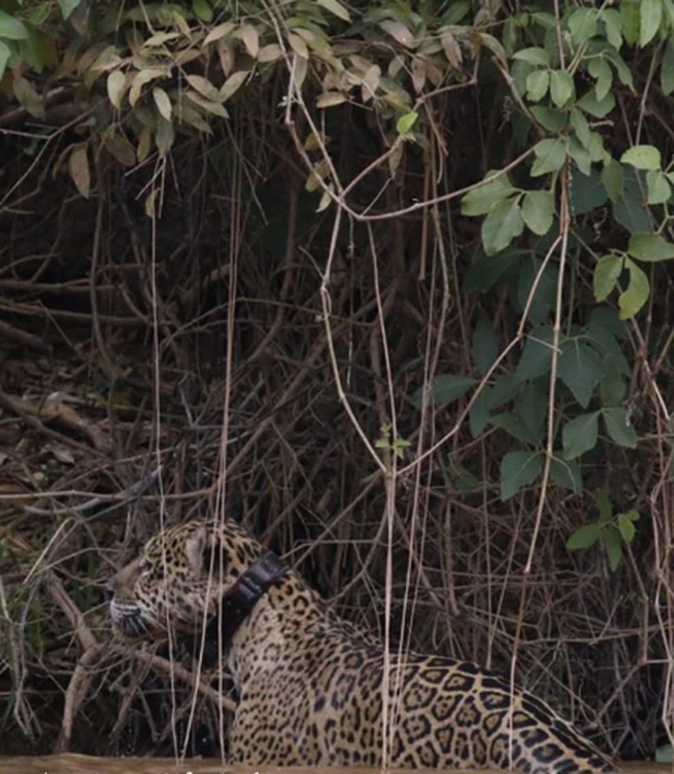 Ousado foi visto com rádio-colar usado para monitorar readaptação no Pantanal — Foto: Eduarda Fernandes/Instagram