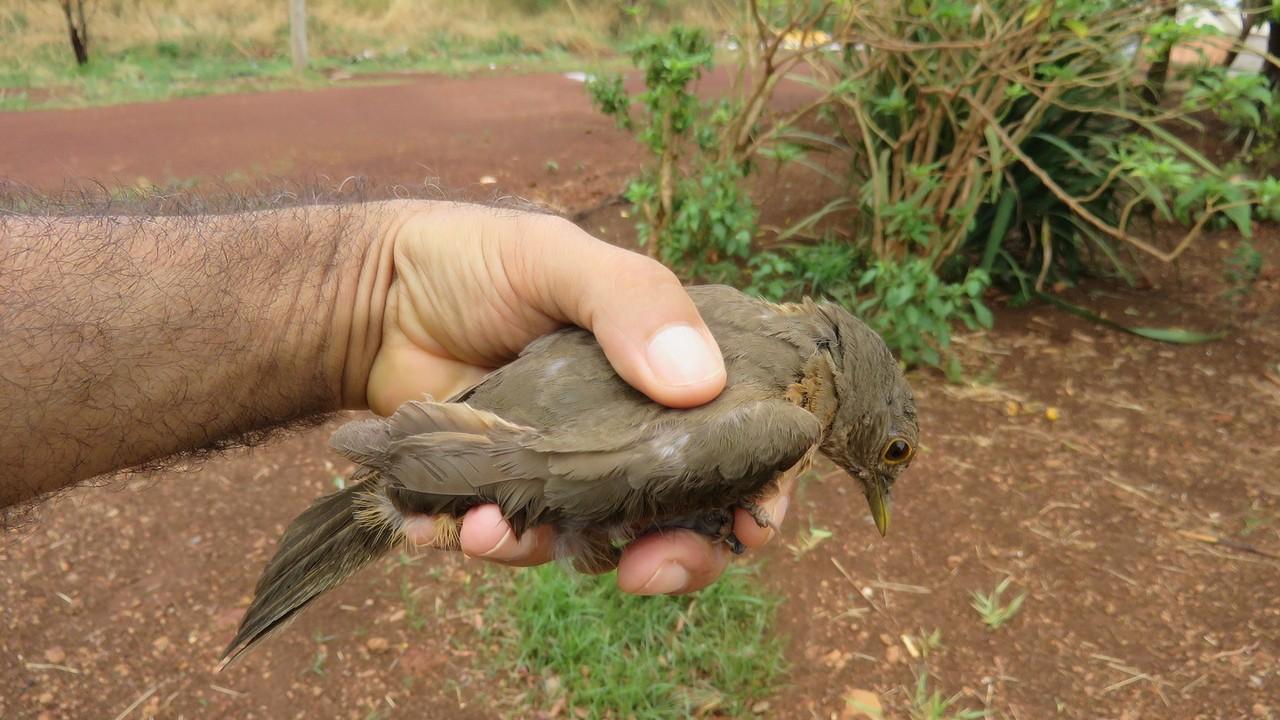 Sabiá-laranjeira preso em linha de cerol é resgatado por fotógrafo que filmava a natureza
