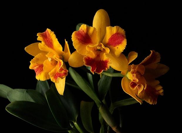 Orquídea Potinara Burana Beauty  (Foto: Sergio Oyama Junior/Divulgação)