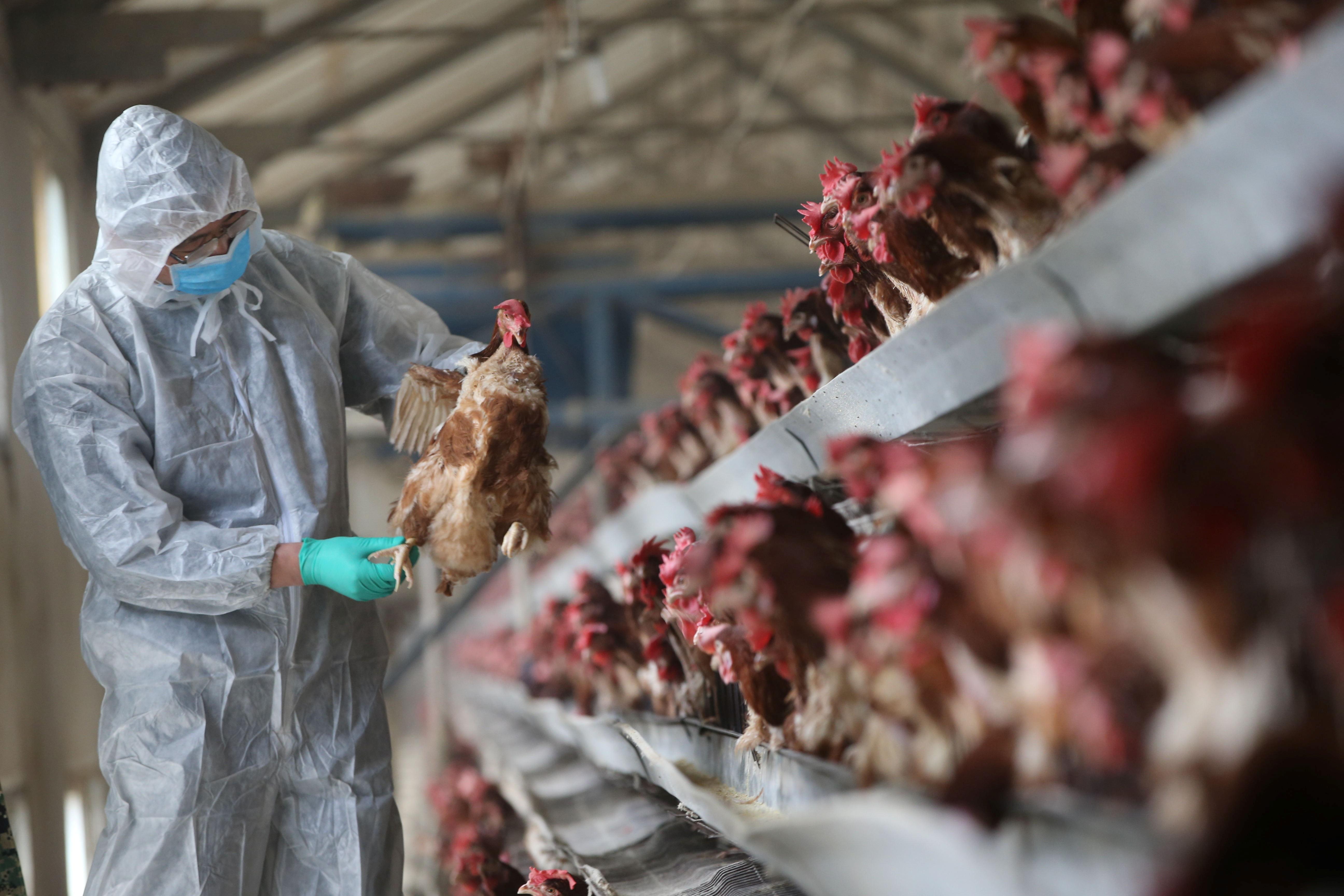 Fazenda de carne de frango, em Xiangyang, China (Foto: REUTERS/Stringer)