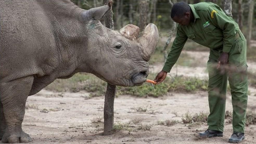 -  Sudan, o último rinoceronte branco do norte macho, que morreu em março de 2018  Foto: Reuters