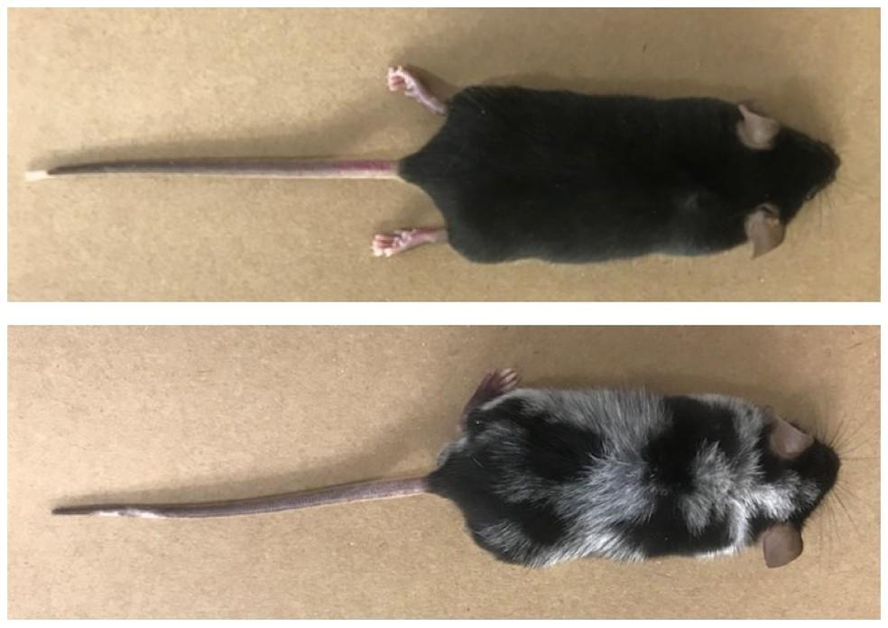 Ratinho com pelos brancos depois de ser exposto ao estresse agudo.  — Foto: Harvard/FMRPUSP