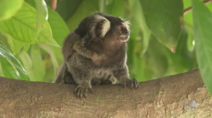 Fabuloso Mais três macacos são achados mortos em Salvador; suspeita de  JW18
