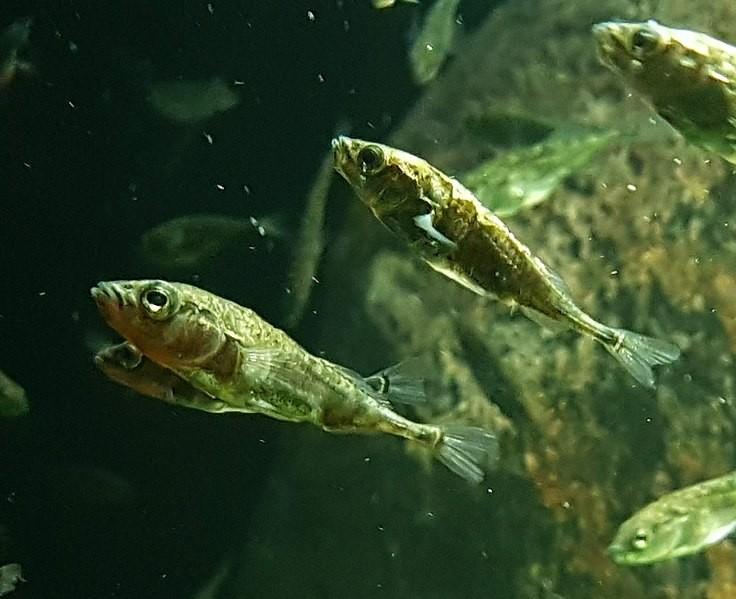 Peixe esgana-gato, da espécie Gasterosteus aculeatus (Foto: JSutton93/Wikimedia Commons)